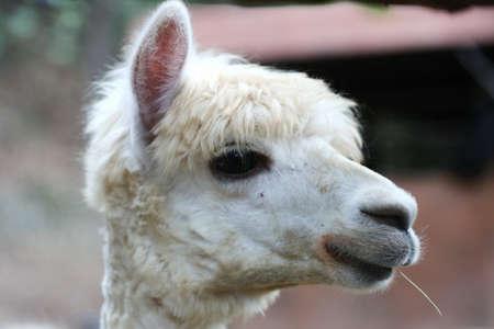 alpaca: Alpaca, eye close up Stock Photo