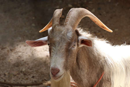 billy goat: long horn goat, nature wildlife