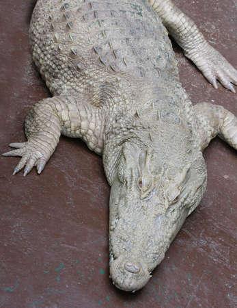 albino: white crocodile in park,albino