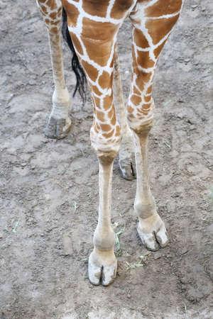 giraffa camelopardalis: foot of giraffe on the ground