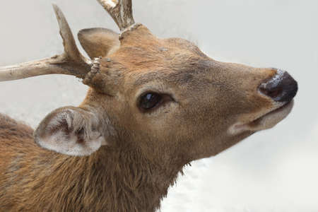 black tail deer: close up deer head