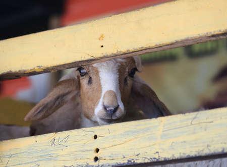goat head: closeup young goat head