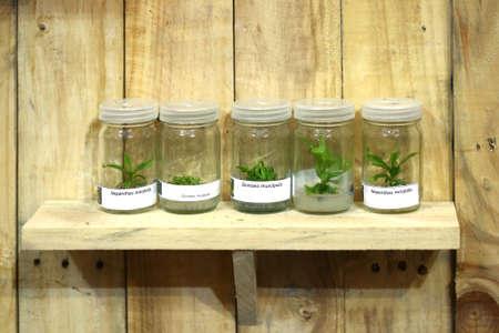 tissue culture: orchid, plant tissue culture in the laboratory