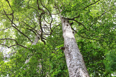 large tree: Dipterocapus tree, big tree in deep forest , Thailand