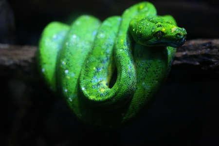 lia: focus dew on green snake head, wildlife Stock Photo