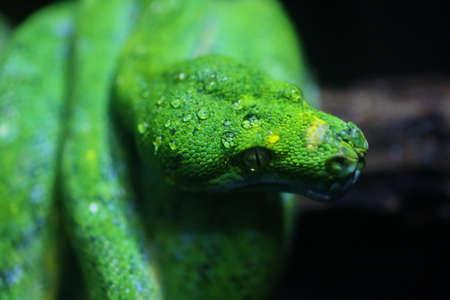 snake head: focus dew on green snake head, wildlife Stock Photo