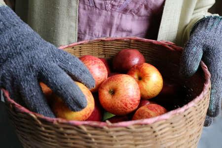 apple basket: gardener hand hold apple basket Stock Photo