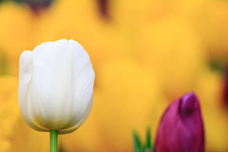 Tulips, white roses photo