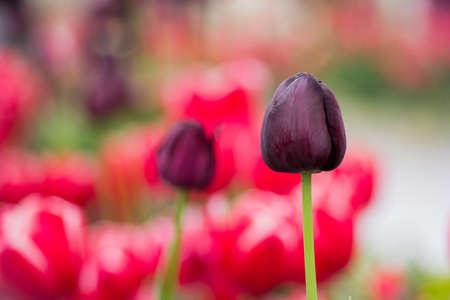 Tulips purple flowers photo