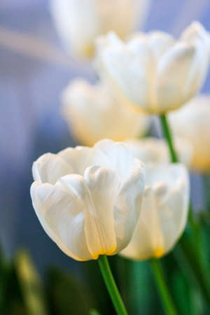 Tulips, white and yellow photo