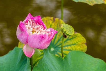 Photo pink lotus ponds photo