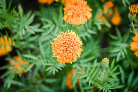 folwer: Marigold
