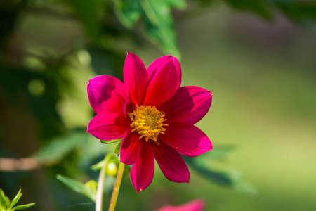 red daisy in garden photo
