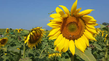 agrar: Sunflower with Bees