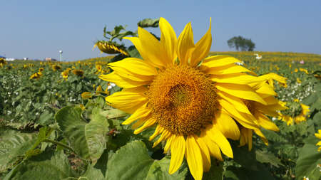 agrar: sunflower fields and bee