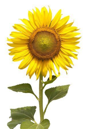Flower, sunflower on white background. Sunflower seed.