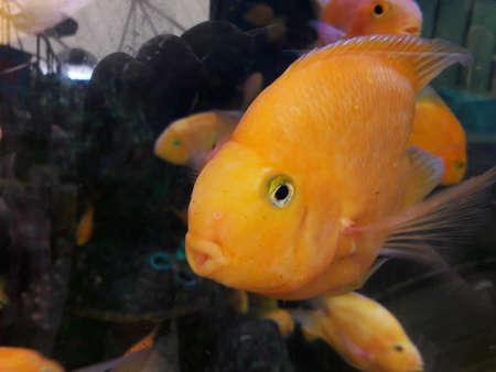 gold: gold fish
