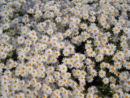 sonata: Sonata Cosmos flower White