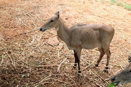 herbivores: Deer are herbivores body is brown like a herd.