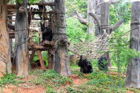 chimpances: Chimpanzees are sitting and lying on the ground and on trees Foto de archivo