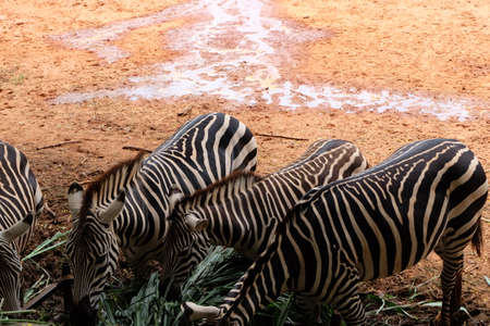 herbivores: Zebras are herbivores characteristic black and white stripes. Stock Photo