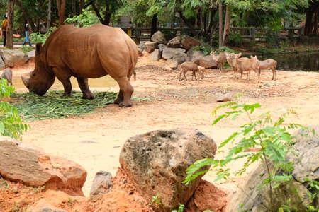 Albino rhinoceros standing on the ground.