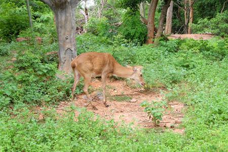 herbivores: Deer are herbivores body and brown eyes sparkling.