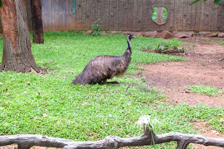 emu: The emu is a bird similar to the ostrich.