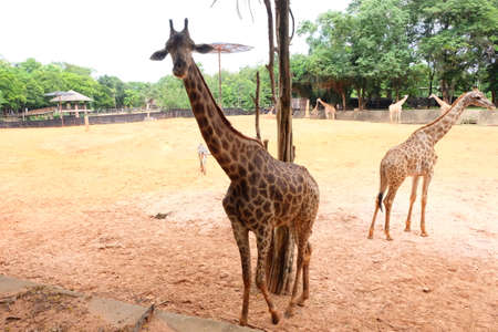 herbivores: Giraffes are herbivores that are part of a long neck. Stock Photo