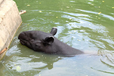ungulate: Tapir is an animal striped two colors