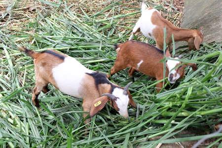 herbivores: Goats are herbivores and mammals.