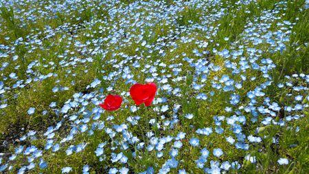 Nemophila and red flowers