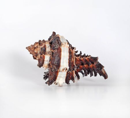 murex shell: Seashell Murex invidia against white background