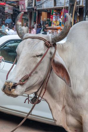 india cow: Cow on the street, Delhi, India