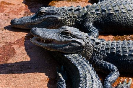 alligators: Baby alligators on the farm