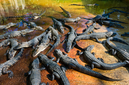 alligators: Baby alligators on the farm