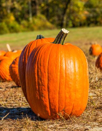 Holiday stock photo of ornage pumpkins Stock Photo