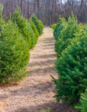 Trees growing at Christmas Tree Farm Stock Photo