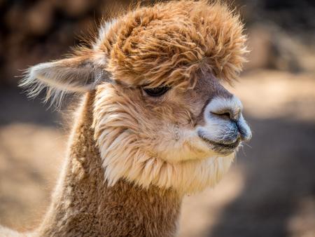 Photo of furry alpaca at a farm