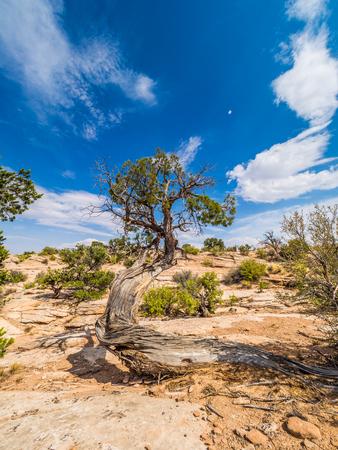 Dead tree in the desert on Colorado Plateau Stock Photo