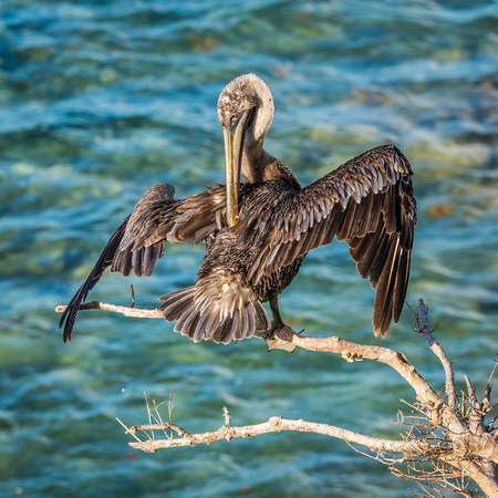 Pelican sits on the tree branch and cleans his feathers