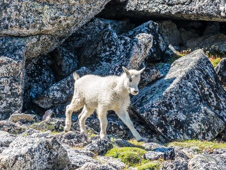 Baby white mountain goat in Cascade Mountains at the north of Washington State 版權商用圖片