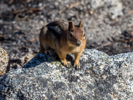 Chipmunk on the trail in mountains Imagens