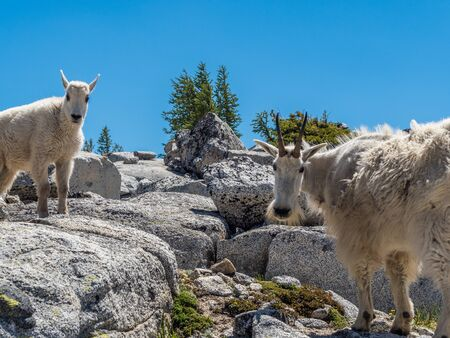 White mountain goat in Cascade Mountains at the north of Washington State