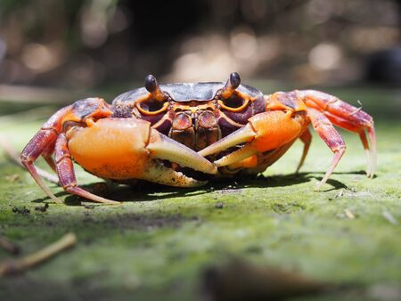 hardshell: Mealy crab