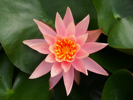 nymphaea: lotus