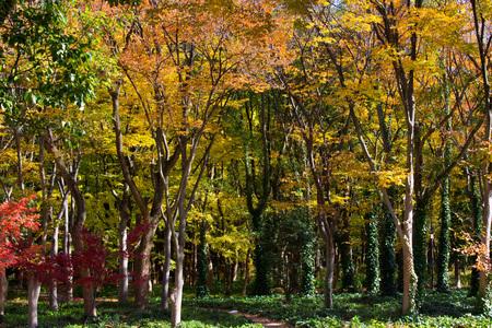 maple trees: Autumn leaves in Osaka, Japan