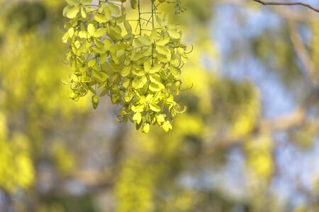 Golden shower, Yellow flower, Thai flower Stock Photo