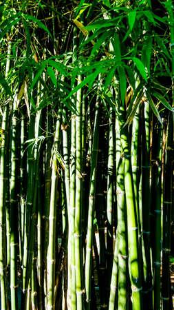 bright: Bamboo