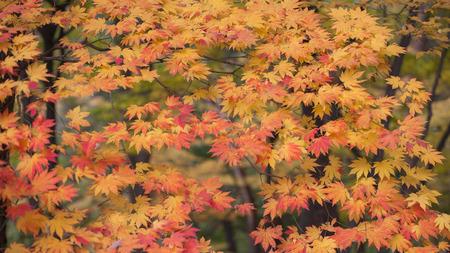 Maple of korea photo